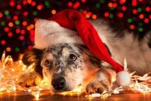 Host A Dog Over Christmas!